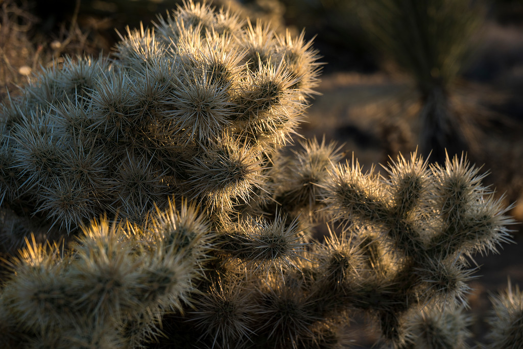 "Cholla cactus (""Jumping Cholla"")  - Joshua Tree National Park."