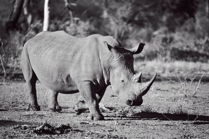 White Rhino B&W.jpg