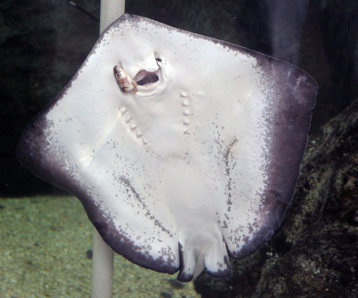 A Stingray, seen from below, feeding on fish.