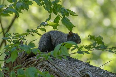 Black Squirrel May 15, 2017