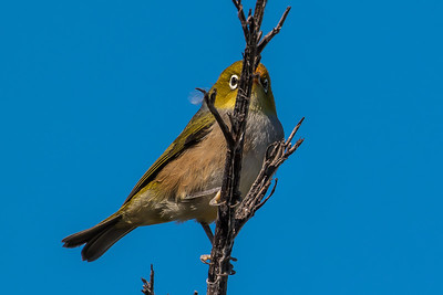 white-eyes yuhinas