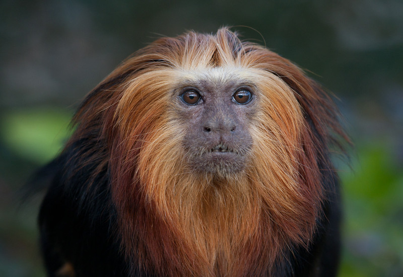 Golden Headed Lion Tamarin