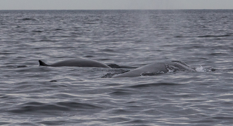 Fin Whales (Mother and Calf)