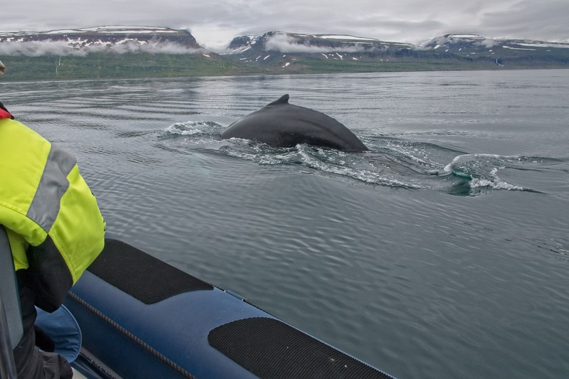 whale isafjordur.jpg