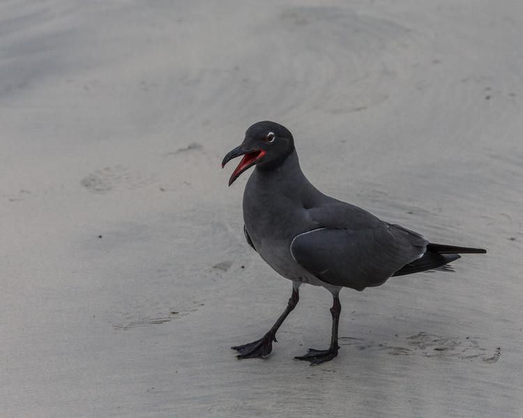 Lava Gull - Galapagos