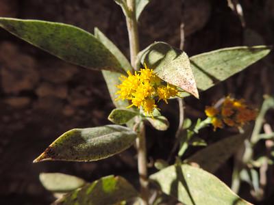 California Goldenrod (Solidago velutina ssp. californica)