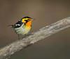 songbirds : songbirds