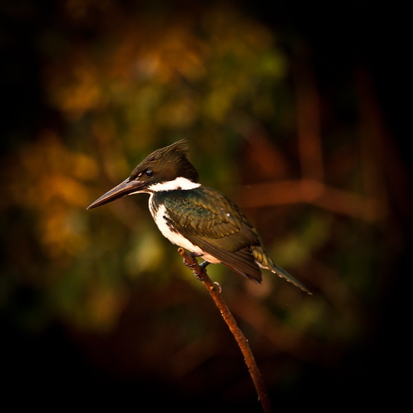 GREEN KINGFISHER _MG_1065.jpg