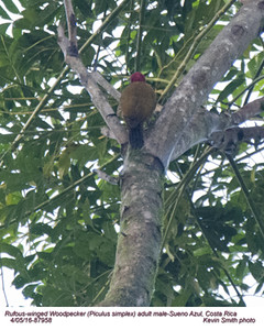 Rufous-winged Woodpecker M87958.jpg