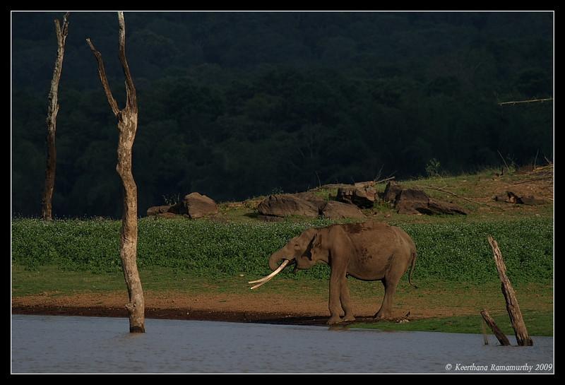Elephant habitat, Kabini, Mysore, Karnataka, India, June 2009