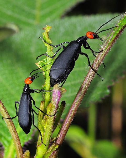 Black-Beetles-Mates-Pursuit-03.jpg