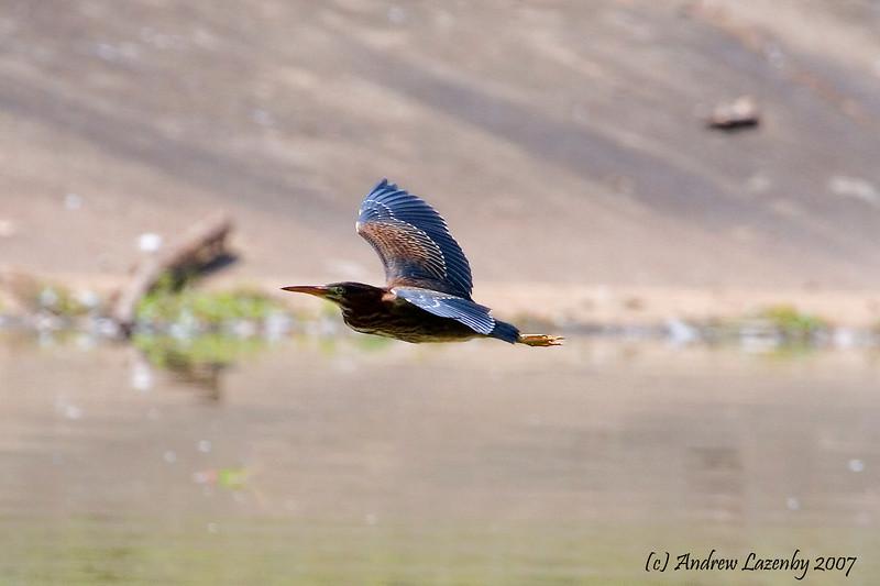 Green Heron flight.jpg