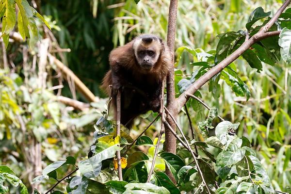 Monkey Peru