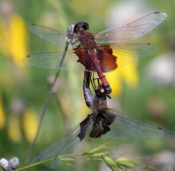 Mating-dragonflies2.jpg