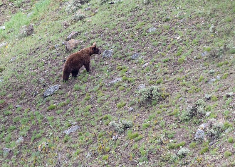 Black Bear, Yellowstone NP, WY, USA May 2018-4.jpg