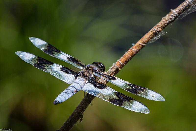 Eight-Spotted Skimmer.jpg