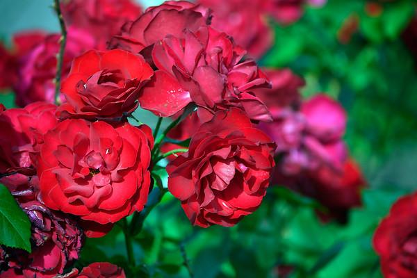 6/16/2018 Mike Orazzi | Staff The fifth annual New Britain Rose Garden Festival Saturday evening in Walnut Hill Park.