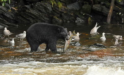 Black Bears and wildlife of Neets Bay, Alaska