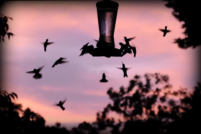 Hummingbirds a sunrise.