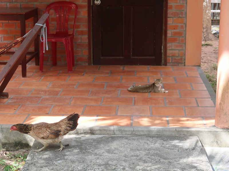 IMG_7414-huong-giang-bungalow-cat-and-chicken.jpg