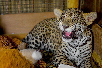 Rescued Baby Jaguar - Belize Zoo