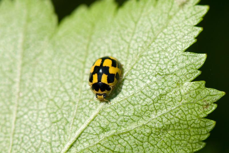 08.06.2007 17-58-40 Propylea quatuordecimpunctata, sjakkbrettmarihøne