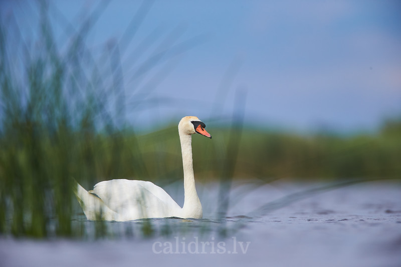 Paugurknābja gulbis / Mute swan