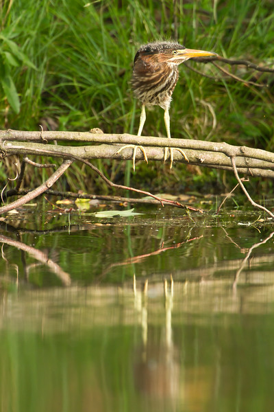 Green heron fledgling reflection