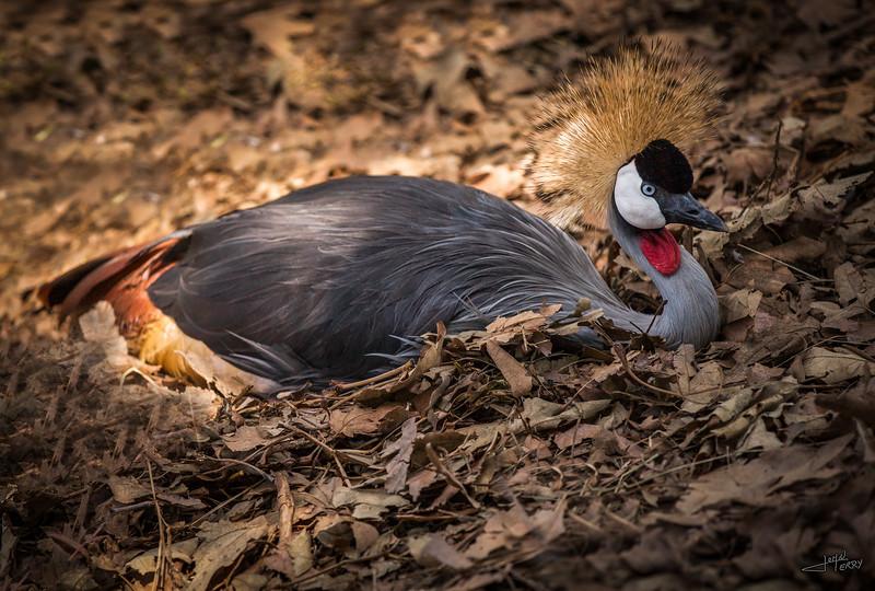 East African Crane Nesting.jpg