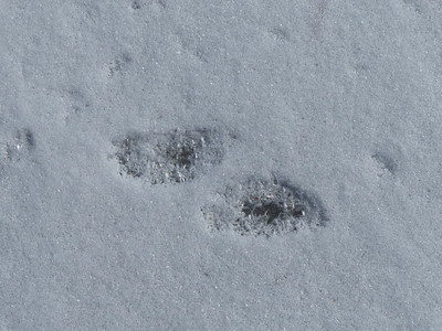 20170305 American Mink Tracks