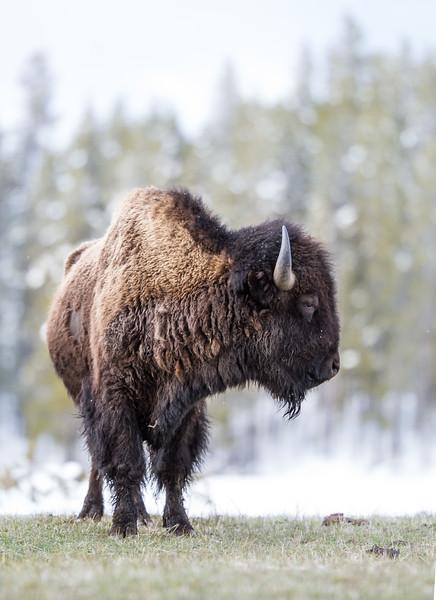 Bison eye level Yellowstone National Park WY IMG_0523.jpg
