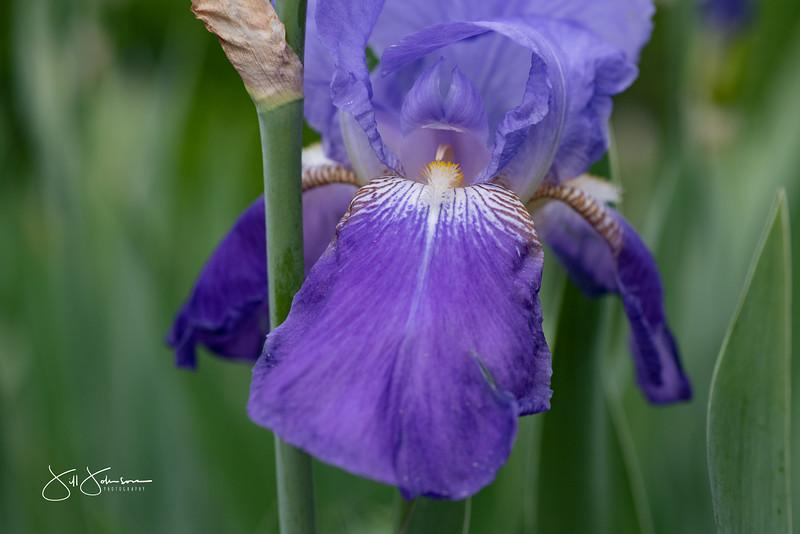 irises-071.jpg