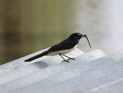 Willie Wagtail, Fantails