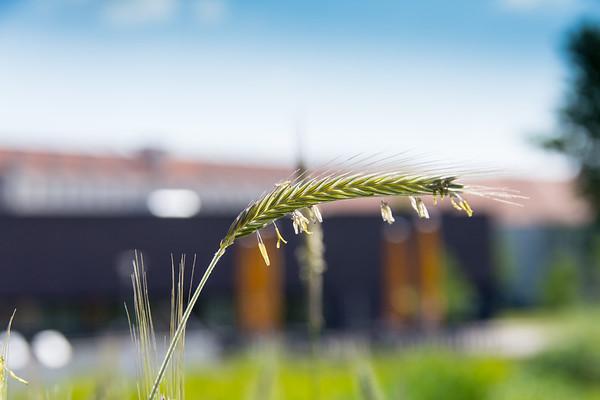 Flowering Rye (Secale Cereale)