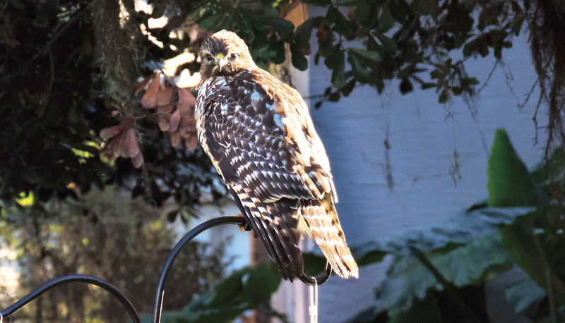 6_25_19 Hawk sitting on our feeder.jpg