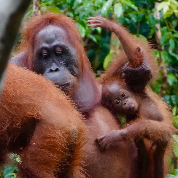 Orangutan Babies with Moms