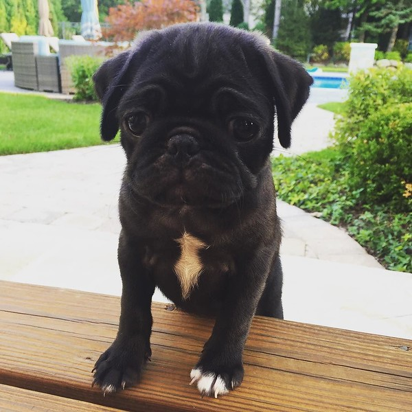 Cousins have a new eight-week old pug…irresistible!