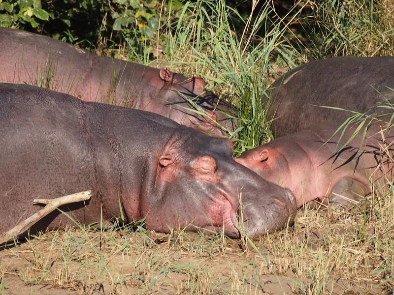 P5036006-hippos.JPG
