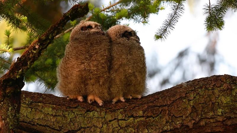 Great Horned Owl Videos