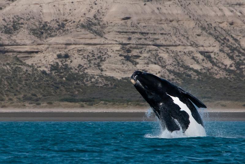 Puerto Madryn 201111 Valdes 479.jpg
