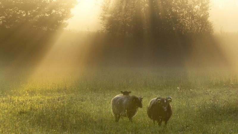 Sunrise_at_the_sheep.jpg