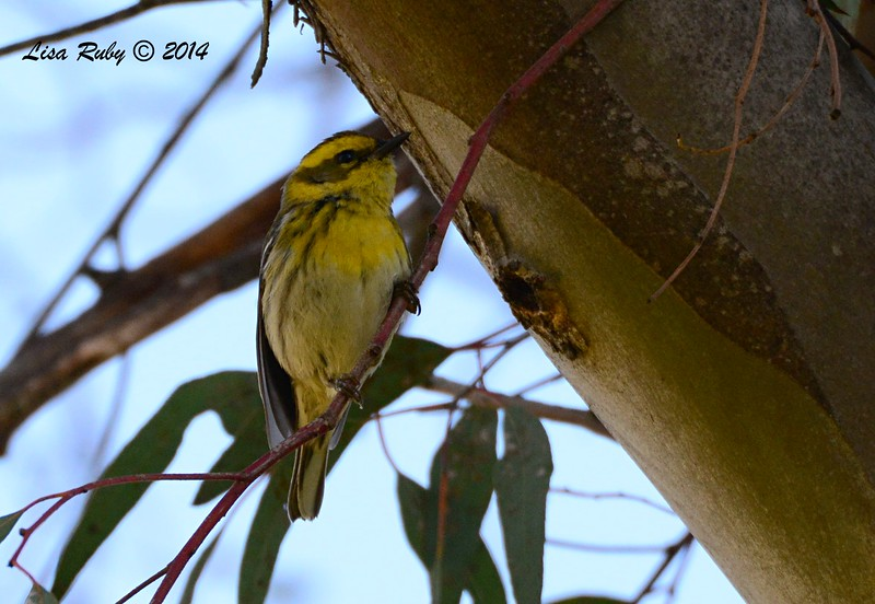 1st winter Townsend's Warbler - 1/3/2015 - On edge of Golf Course off Pomerado Road