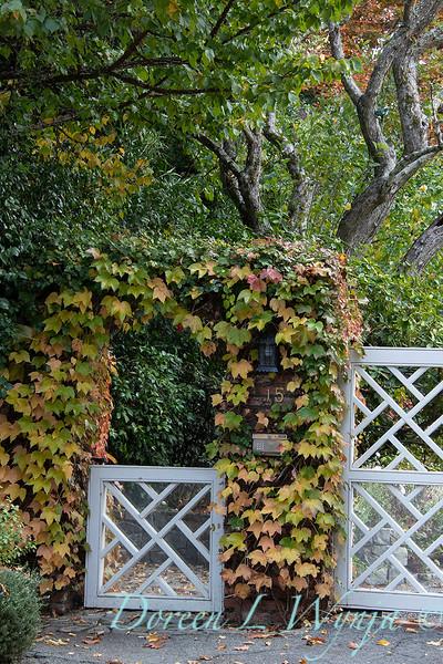 Parthenocissus tricuspidata gated arbor - driveway gate_1368.jpg