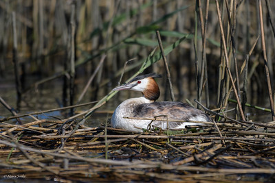 Grebe, Great Crested (spp. cristatus)
