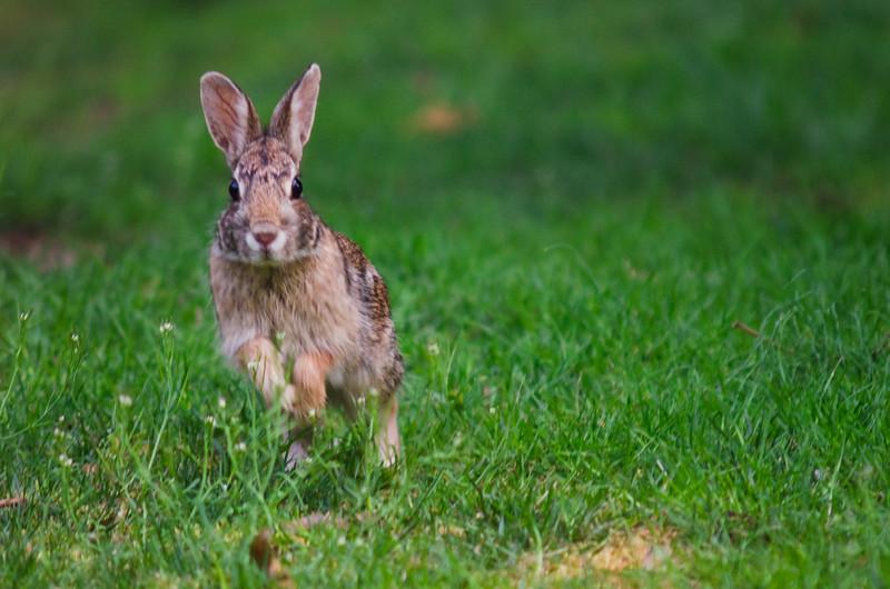 Rabbit Jumping.jpg