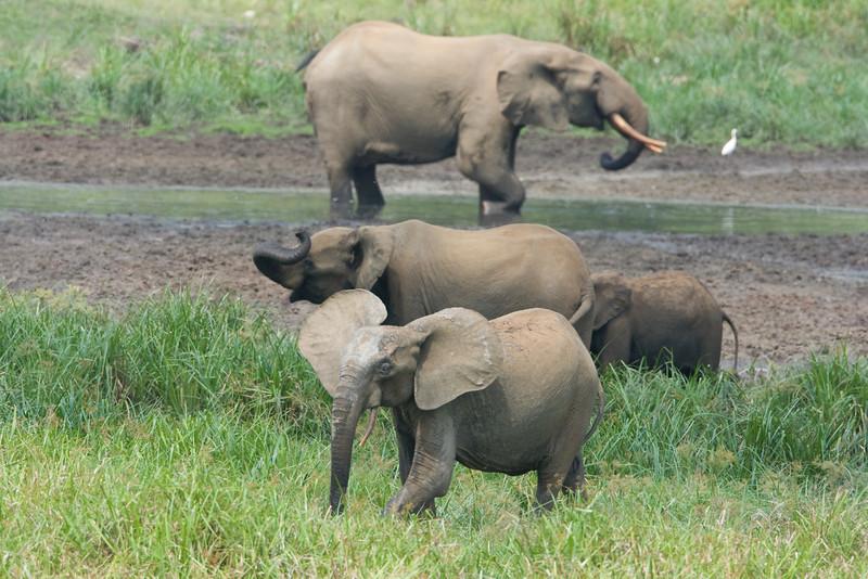 Various elephants congregating at Langoue Bai.