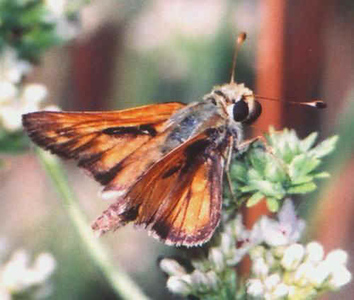 Columbian Skipper