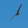 Northern Harrier Hawk
