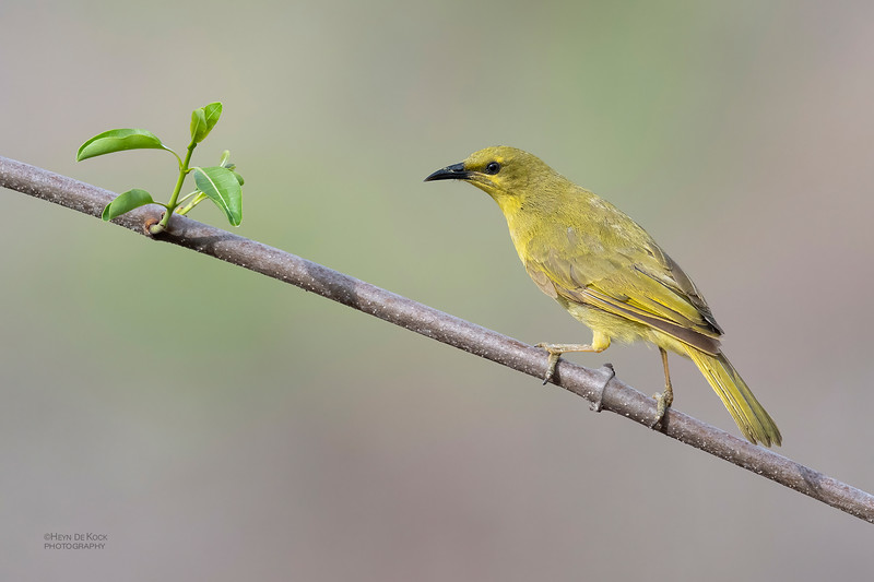Yellow Honeyeater, Woodstock, QLD, Jan 2020-1.jpg