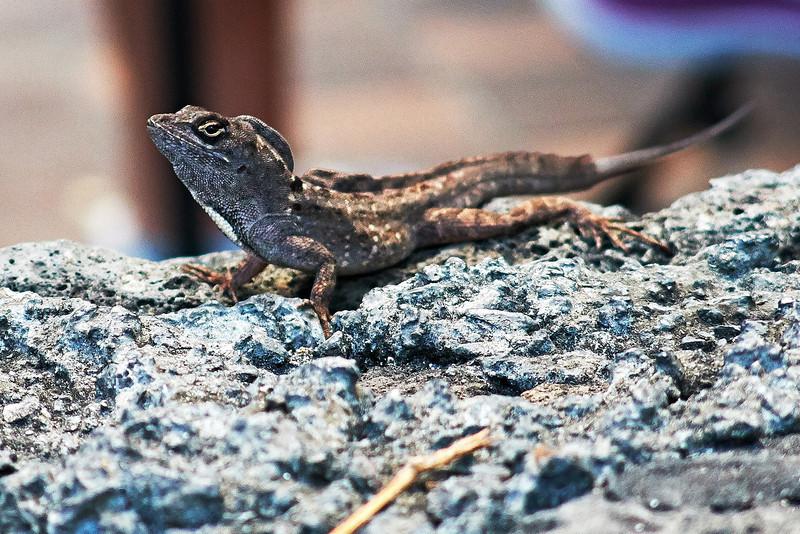 Lizard_IMG_1799.jpg